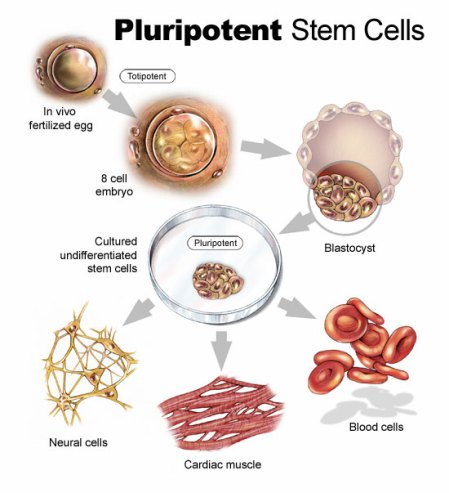 pluripotent-stem-cells